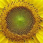 Seed pattern in yellow bloom